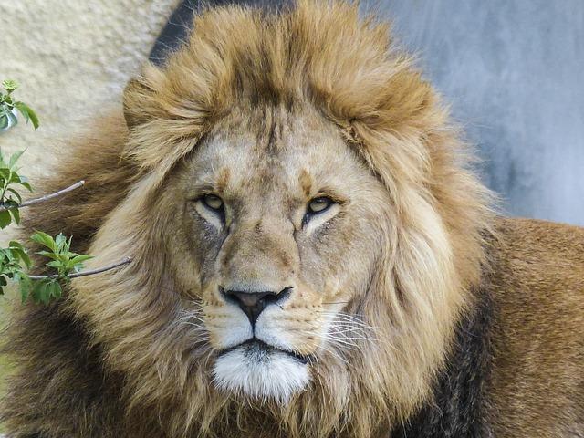 lion-560229_640